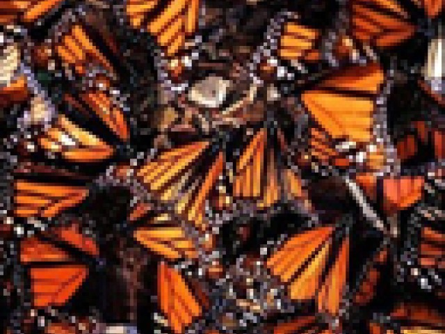 The Monarch: A Butterfly Beyond Borders