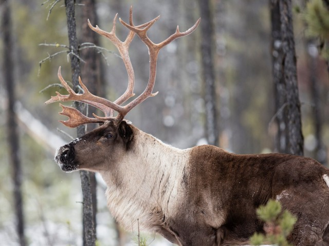 Last Stand ~ The Vanishing Caribou Rainforest